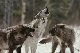 animal de poder lobo chamanismo